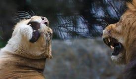Lejonförälskelsen Arkivbild