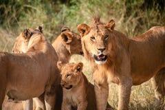 Lejonfamilj i Serengetien Royaltyfri Fotografi