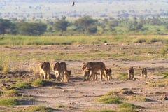 Lejonfamilj savannah med djur Amboseli Royaltyfri Foto