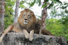 Lejonfamiljtid avlar tillsammans och sonen royaltyfri bild