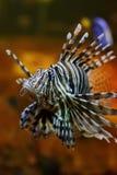 Lejonfisk i akvarium Fotografering för Bildbyråer