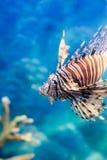 Lejonfisk i det blåa havet Arkivbilder