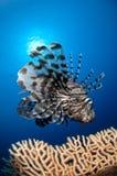 Lejonfisk i Röda havet Royaltyfria Bilder