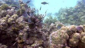 Lejonfisk i trevlig korall av Röda havet lager videofilmer