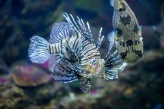 Lejonfisken och baloon fiskar i marin- akvarium Arkivfoton