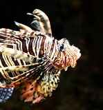 Lejonfiskprofil mot en svart bakgrund royaltyfri fotografi