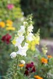 Lejongap-blomma Royaltyfri Fotografi