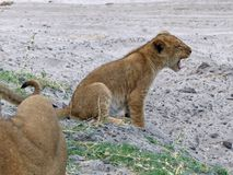 Lejongröngöling som gäspar, Chobe nationalpark Arkivbild