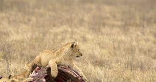 Lejongröngöling, Tarangire nationalpark, Tanzania, Afrika Arkivfoton
