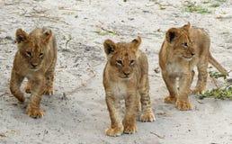 Lejongröngölingar i den Chobe nationalparken Royaltyfri Foto