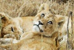 Lejongröngölingar i savannahen, Serengeti nationalpark, Tanzania arkivbild