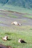 Lejongröngölingar som ligger i gräsnationalparken Ngorongoro Arkivfoton