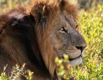 Lejonhuvud i Sydafrika Arkivbilder