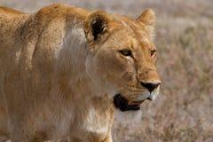 Lejoninna efter en jakt Arkivbild