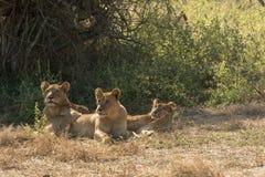 Lejoninna för tre afrikan under ett träd arkivfoto