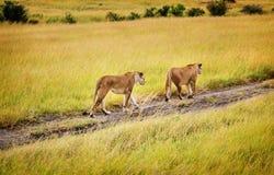 Lejoninna för två mödrar som går i den MasaiMara reserven, Kenya Arkivbild