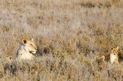 Lejoninna & gröngölingar, Serengeti nationalpark Arkivbild