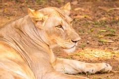Lejoninna i ett avslappnande lynne royaltyfri foto