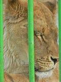 Lejoninna i liten bur Prisonner Djurt missbruk arkivbild