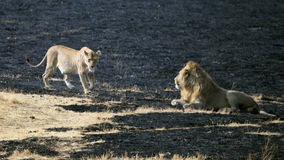 Lejoninna i värme och lejon i den Ngorongoro krater Royaltyfria Bilder