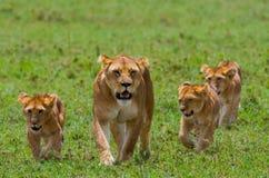 Lejoninna med gröngölingar i savannahen Chiang Mai kenya tanzania mara masai serengeti fotografering för bildbyråer