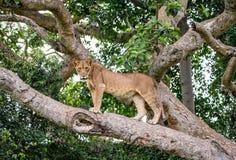 Lejoninna på ett stort träd Närbild uganda 5 2009 för tanzania för östlig marsch för maasai för africa dans utförande krigare by Arkivbild