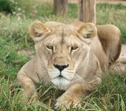 Lejoninna (Panthera leo) Royaltyfri Fotografi