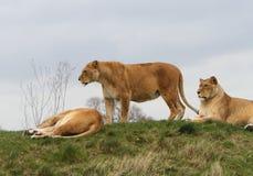 Lejoninna (PantheraLejonet) fotografering för bildbyråer