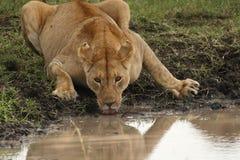 Lejoninna som dricker på waterhole i Tanzania Royaltyfri Foto