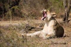 Lejoninna som gäspar Sydafrika Arkivfoto