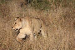 Lejoninna som går i savannah Arkivbilder