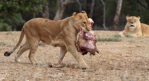 Lejoninna som går med kött fotografering för bildbyråer