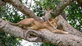 Lejoninna som ligger på ett stort träd Närbild uganda 5 2009 för tanzania för östlig marsch för maasai för africa dans utförande  Royaltyfria Bilder