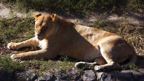 Lejoninna som ner ligger och vilar rovdjur Royaltyfri Fotografi