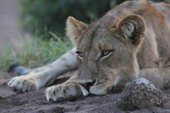 Lejoninna som vilar hennes huvud Royaltyfri Foto