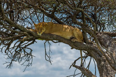 Lejoninna sovande i träd Royaltyfria Bilder