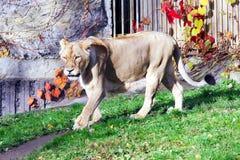 Lejoninna vänliga djur på den Prague zoo Arkivfoton