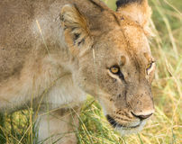 Lejoninnajakt i det högväxta gräset, Serengeti nationalpark, Tanzania Arkivfoto