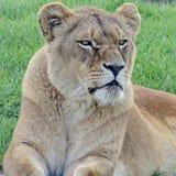 Lejoninnan av den afrikanska lejonlaten Pantheraen leo ser fotografen Vila efter ett hurtigt m?l fotografering för bildbyråer