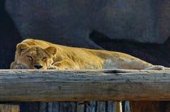 Lejoninnan av det afrikanska lejonet ser fotografen Vila efter ett hurtigt m?l Eftermiddagen vilar arkivfoton