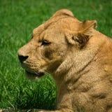 Lejoninnan lägger på gräs royaltyfri foto