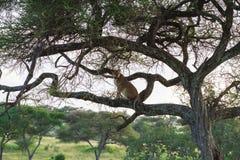 Lejoninnan sitter på trädet Tarangire Tanzania Arkivbild