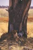 Lejoninnasari i Botswana arkivbilder