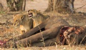 Lejoninnor på elefantbyte Arkivbilder