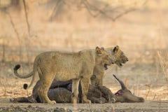 Lejoninnor på afrikanskt buffelbyte Royaltyfri Fotografi