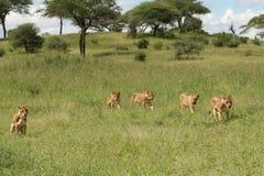 5 lejoninnor som går i den Tarangire grässlätten Royaltyfria Foton