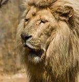 Lejonnärbild i solen Arkivbild