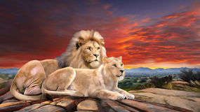 Lejonpar i solnedgång Arkivfoto