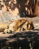 Lejonsömnar Fotografering för Bildbyråer