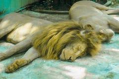 Lejonsömnen under dagen Royaltyfri Fotografi
